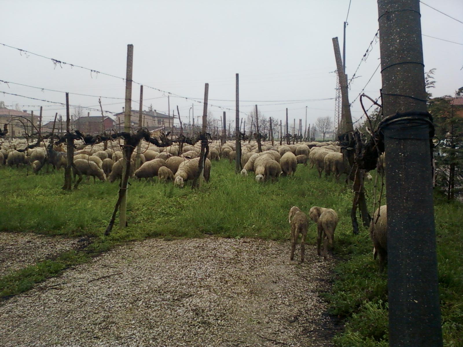 pecore-nel-vigneto-agriturismo-da-merlo.jpg